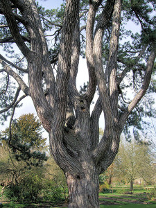 450px-Tolkien's_Favorite_Tree,_Oxford_Botanical_Garden